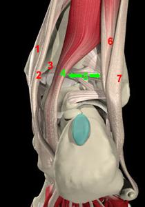 Posterior ankle anatomy